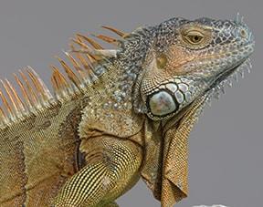 iguana_lores